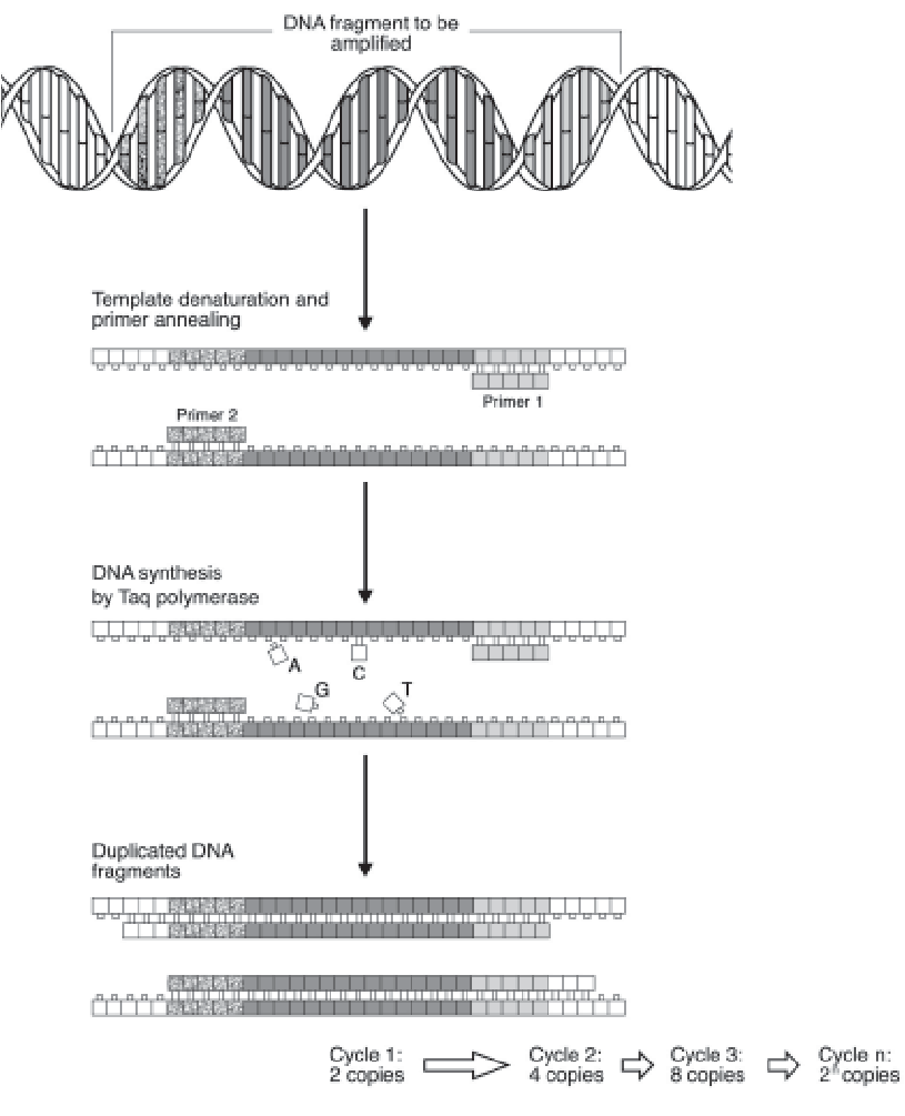 hight resolution of schematic diagram of pcr showing that each cycle contains three steps annealing of primers
