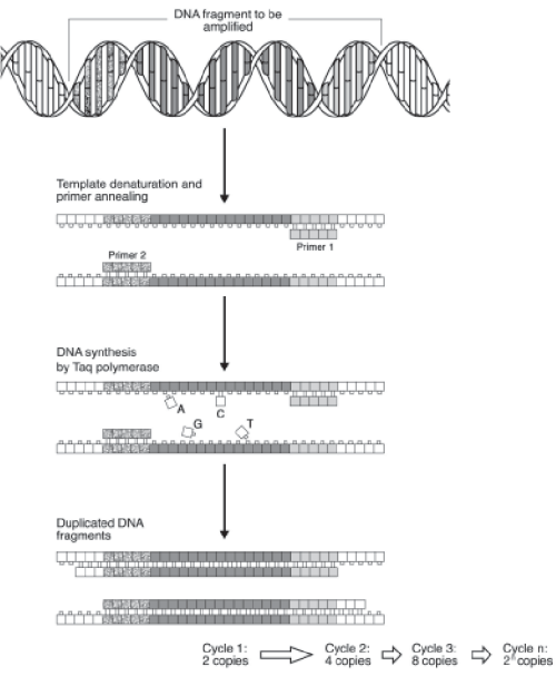 small resolution of schematic diagram of pcr showing that each cycle contains three steps annealing of primers