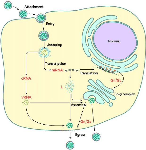 Hantavirus life cycle. Glycoproteins integrated in the viral ...
