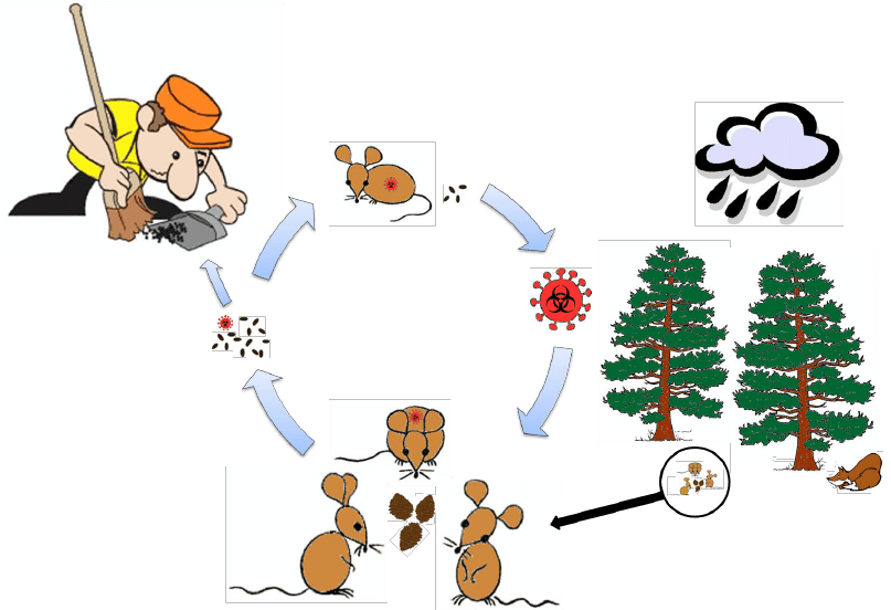 Hantavirus transmission cycle. Predation and weather conditions ...