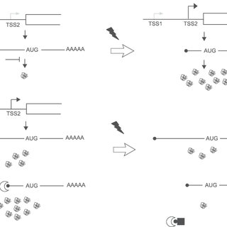 Model for the role of transcription start-site selection