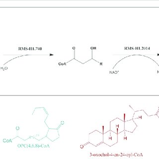 Conservation of β-oxidation module for non-fatty acid