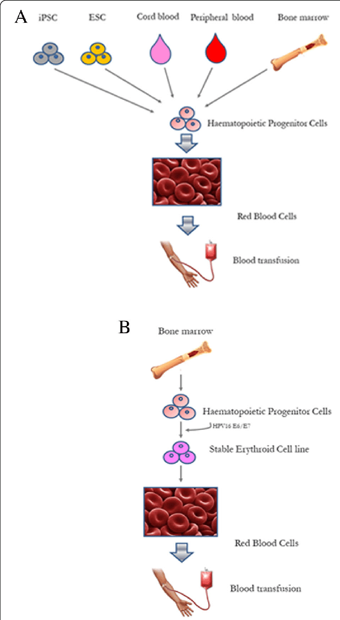 hight resolution of schematic representation of red blood cells rbc generation from distinct sources of stem cells