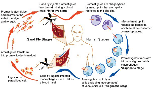 Life cycle of Leishmania parasites showing the sand fly