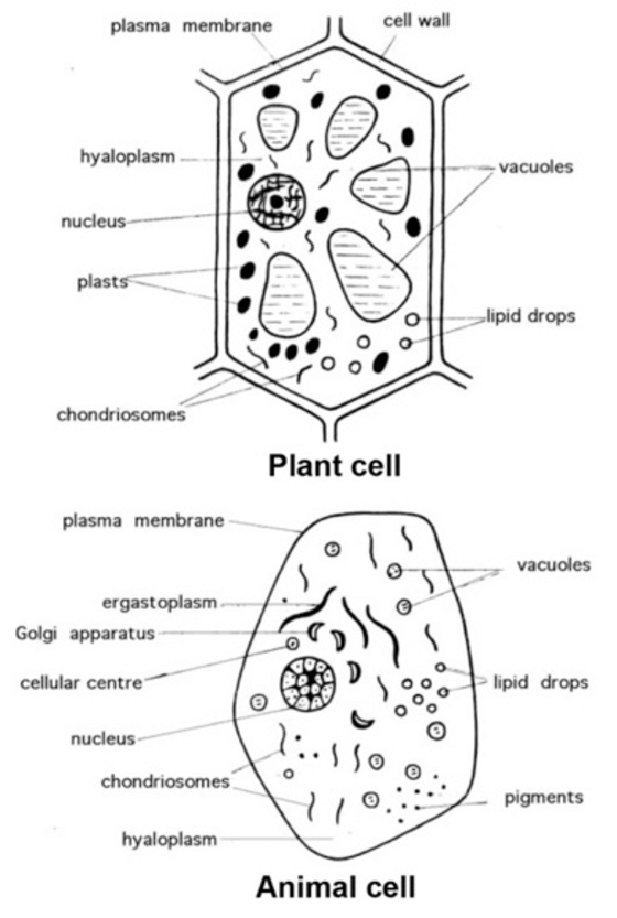 Illustration of an animal and a plant cell from a biology