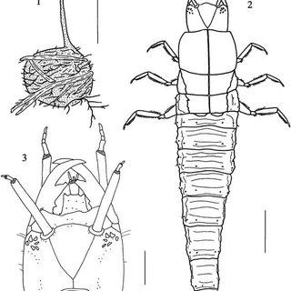 Hydrobiomorpha spinosa. (10) Pupa, ventral view; (11) Pupa