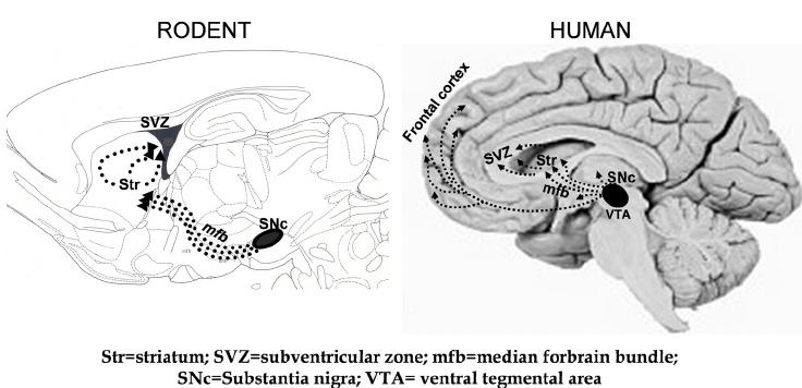 Anatomical comparison between mouse and human brains The