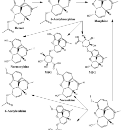 schematic flow diagram of heroin and codeine metabolism 6 acetylmorphine morphine normorphine [ 850 x 1117 Pixel ]