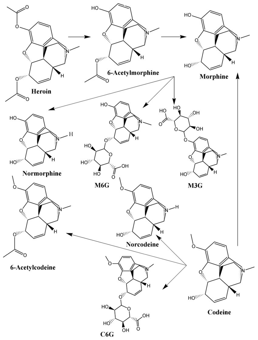 hight resolution of schematic flow diagram of heroin and codeine metabolism 6 acetylmorphine morphine normorphine