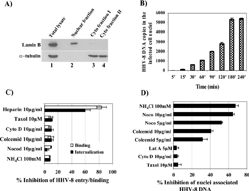 HHV-8-induced MT dynamics influence the nuclear delivery