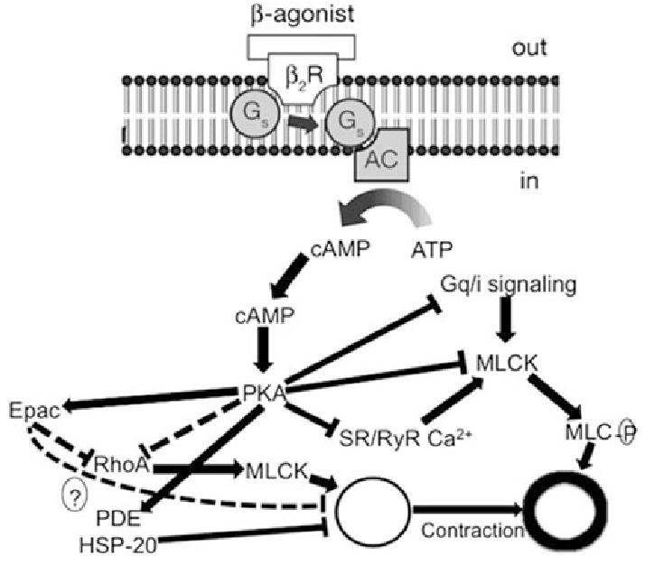 Mechanism of action of b 2-adrenoceptor agonists. AC