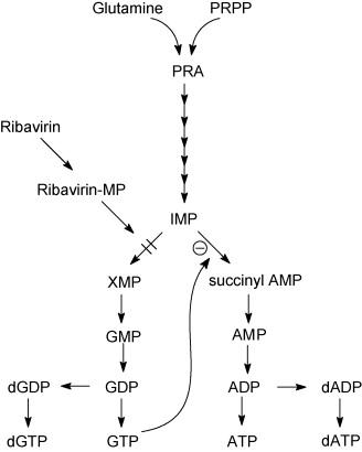 Mechanism of ribavirin action. Target enzyme: IMP