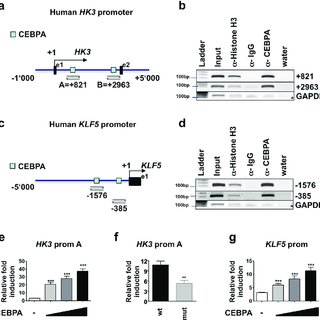 (PDF) CEBPA-dependent HK3 and KLF5 expression in primary