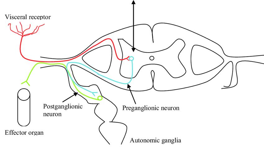 reflex arc diagram convex mirror ray animation the autonomic nervous system download scientific
