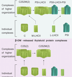 schematic representation of the hierarchical formation of large thylakoid protein complexes via lhcii antenna detergents [ 850 x 1034 Pixel ]