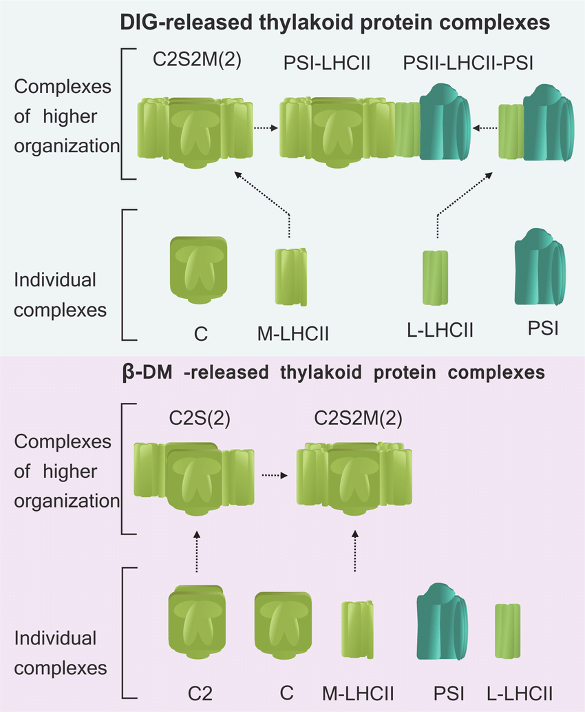 hight resolution of schematic representation of the hierarchical formation of large thylakoid protein complexes via lhcii antenna detergents