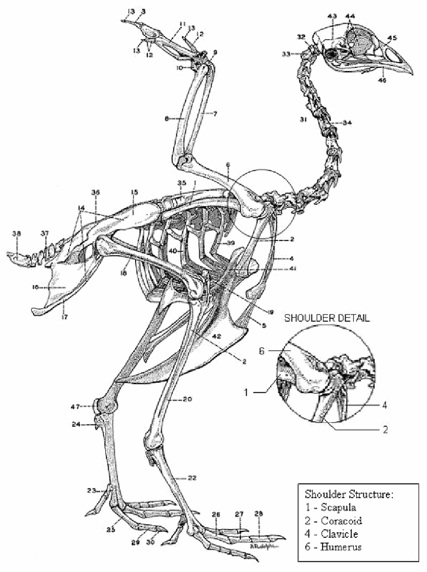 medium resolution of 10 chicken skeleton chamberlain 1943