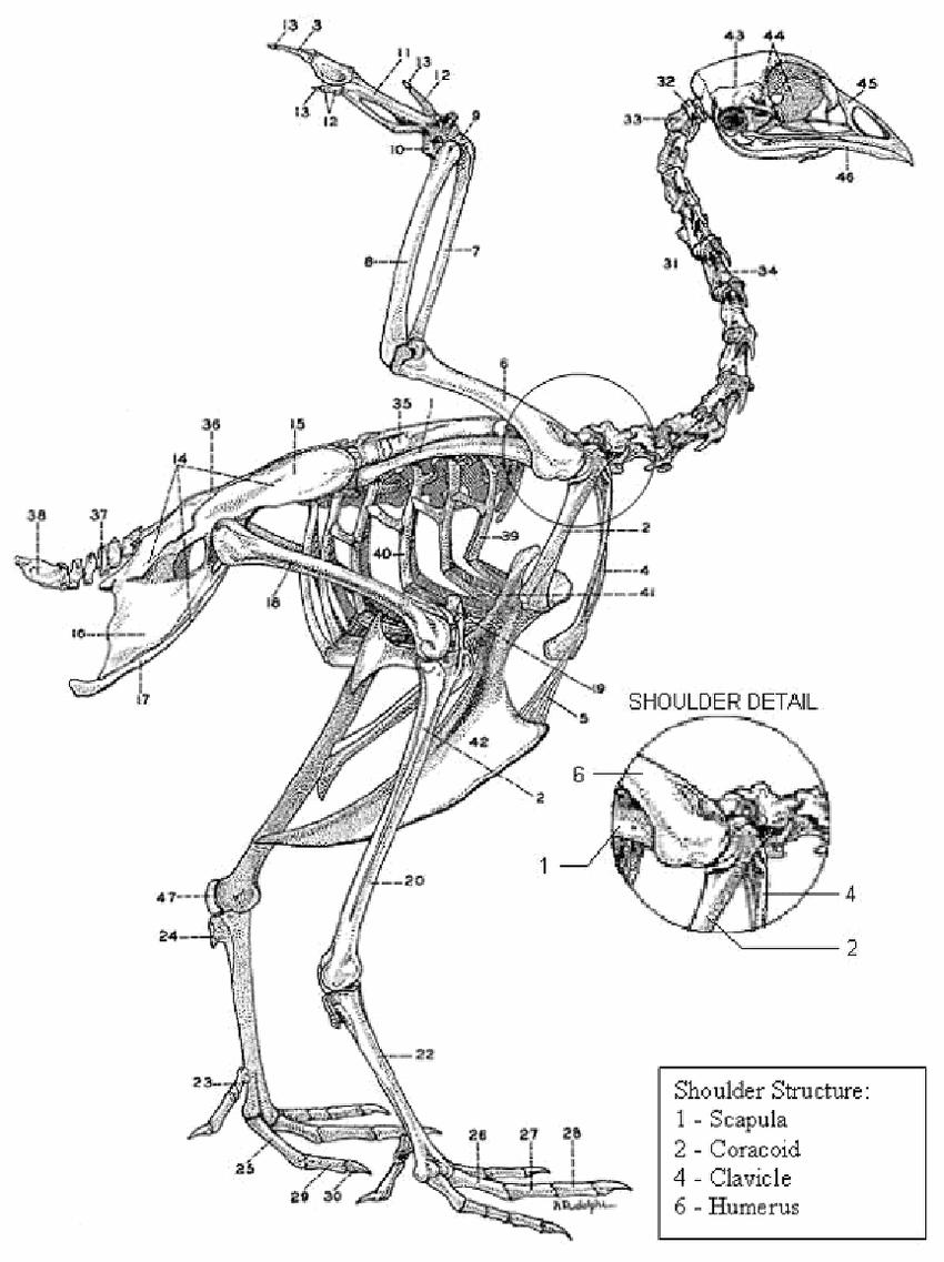 hight resolution of 10 chicken skeleton chamberlain 1943