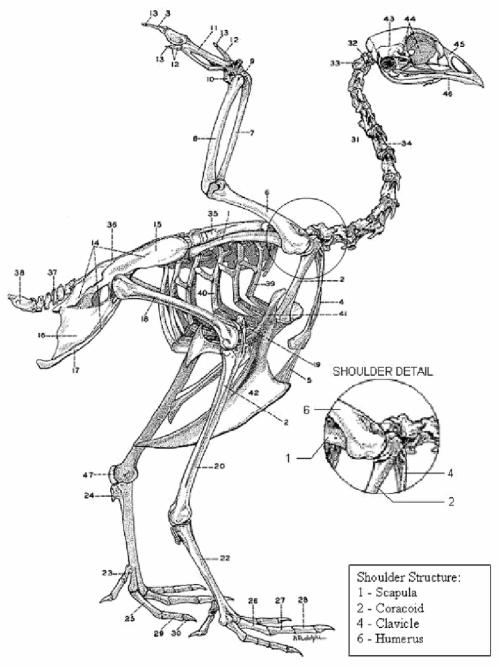 small resolution of 10 chicken skeleton chamberlain 1943