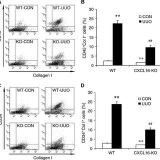 Bone marrow-derived fibroblast precursors express