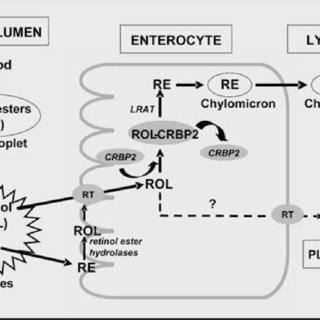OVERVIEW OF DIGESTION AND ABSORPTION OF VITAMIN A. CRBP2