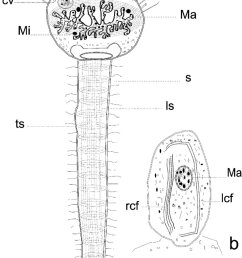 a schematic diagram of the body ct capitate tentacles pt prehensile tentacles cv contractile vacuole ls longitudinal striations ma macronucleus  [ 840 x 1153 Pixel ]