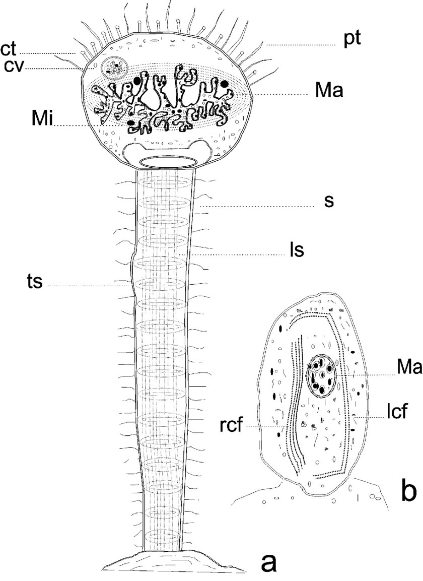 hight resolution of  a schematic diagram of the body ct capitate tentacles pt prehensile tentacles cv contractile vacuole ls longitudinal striations ma macronucleus