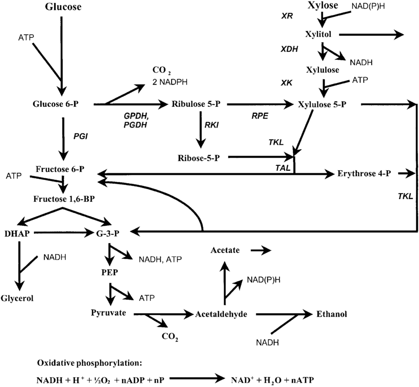A simplified metabolic scheme of ethanol formation from