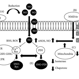 Cell surface PDI, NO, and SNO-PDI. (A) Cell surface PDI