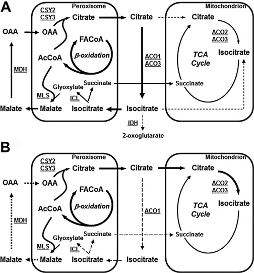 Schemes depicting the metabolism of peroxisomal citrate