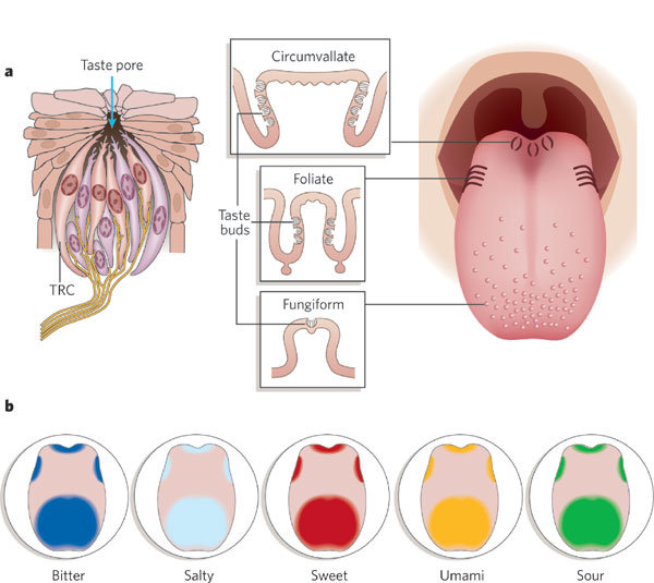 human taste buds diagram electrical panel wiring receptor cells and papillae a left are download scientific
