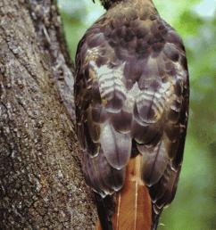 red tailed hawk buteo jamaicensis credits dan sudia  [ 850 x 1156 Pixel ]