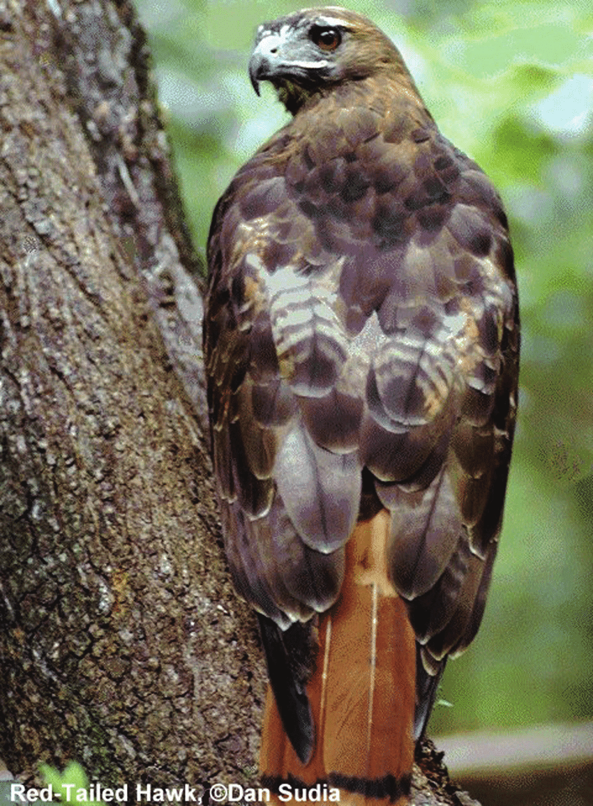 medium resolution of red tailed hawk buteo jamaicensis credits dan sudia