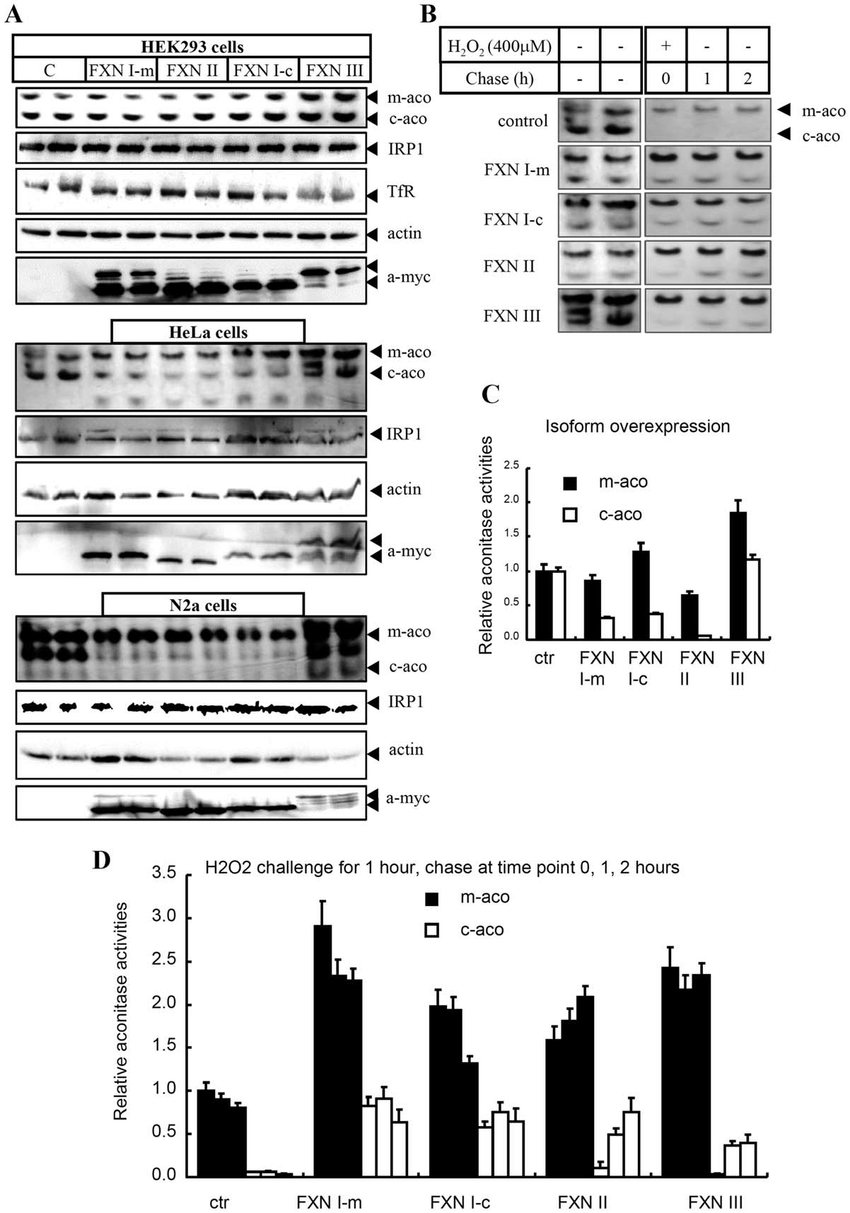 hight resolution of functional assays of human fxn isoforms in cell lines a each of fxn download scientific diagram