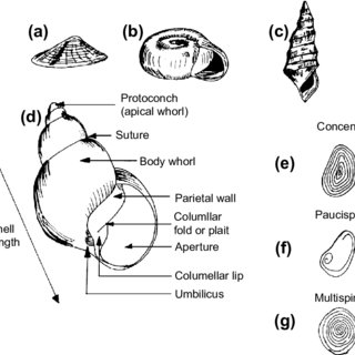 11 Phylogenetic hypothesis for Pachychilidae gastropods
