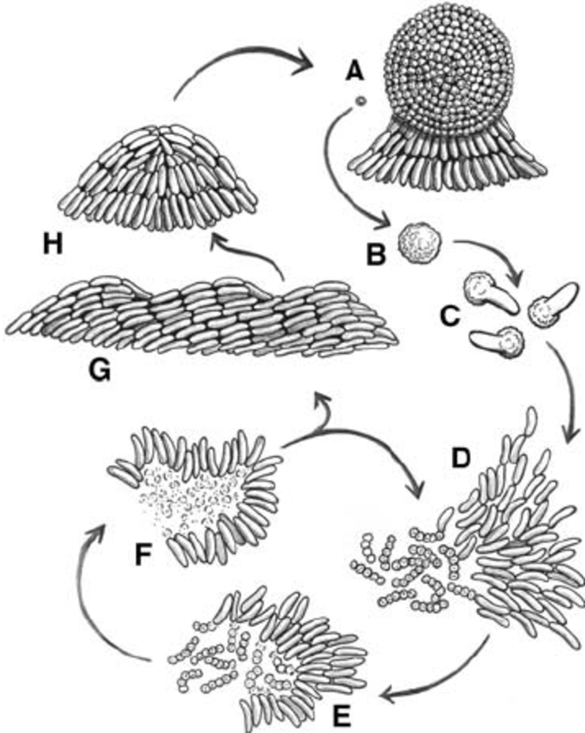 The lifecycle of Myxococcus xanthus . A group of swarming