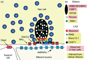 Molecular specializations of the hair cell ribbon synapse