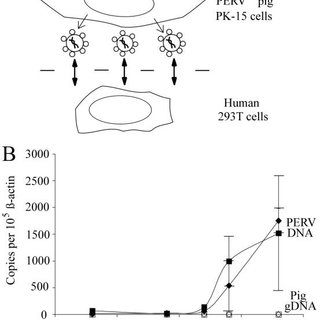 (A) A schematic of the PERV genome showing coding regions