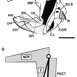 The four-bar linkage model of the hyoid depression