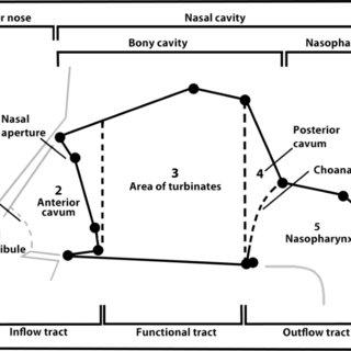 PLS analysis dental arch ? masseter muscle shape. Both