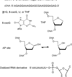 nucleic acids and their derivatives used in this study ssdna single stranded oligodeoxyribonucleotide  [ 850 x 938 Pixel ]