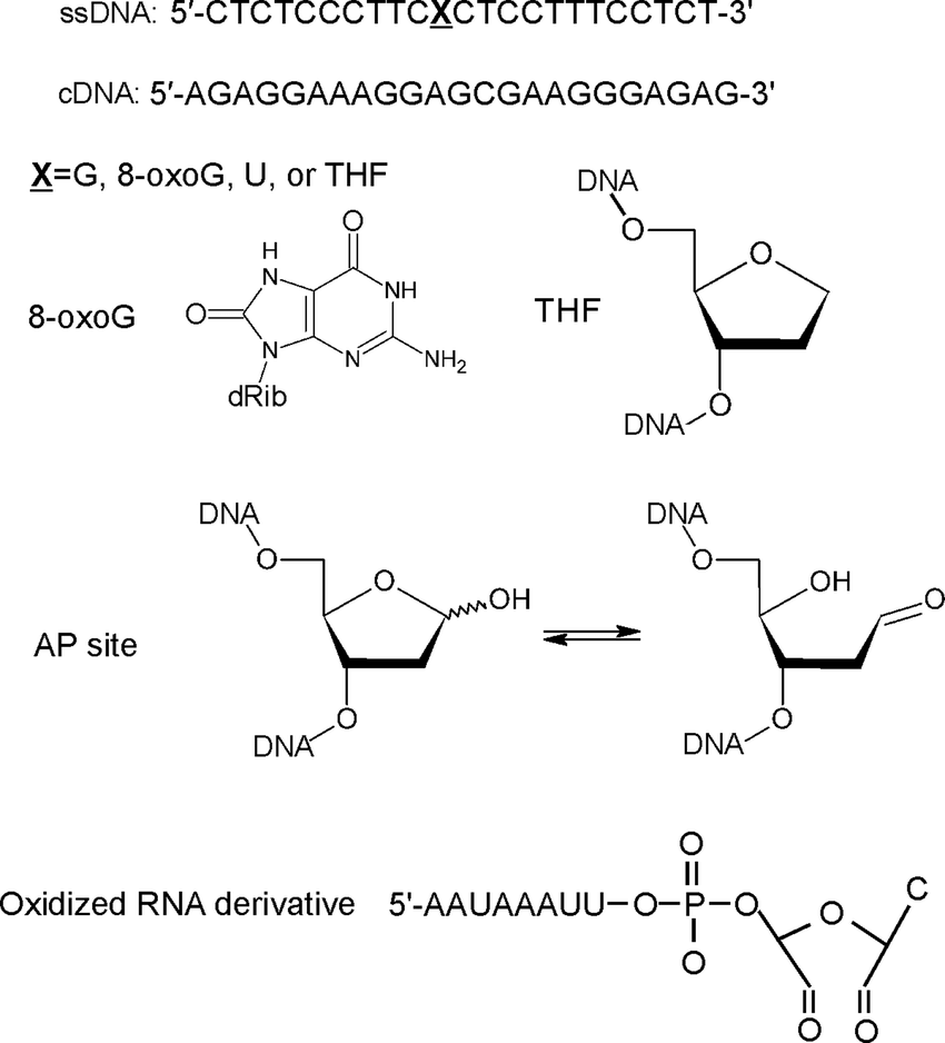 medium resolution of nucleic acids and their derivatives used in this study ssdna single stranded oligodeoxyribonucleotide
