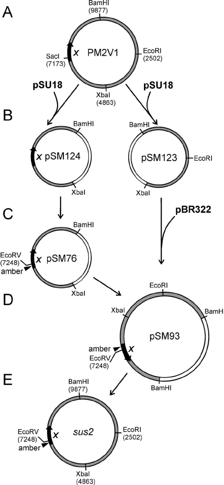 Genetic engineering of the PM2 genome to construct the sus