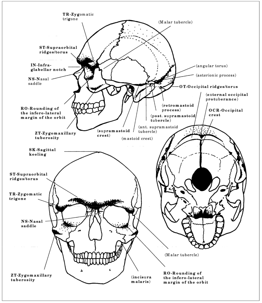 Cranial superstructures. In bold, the features of