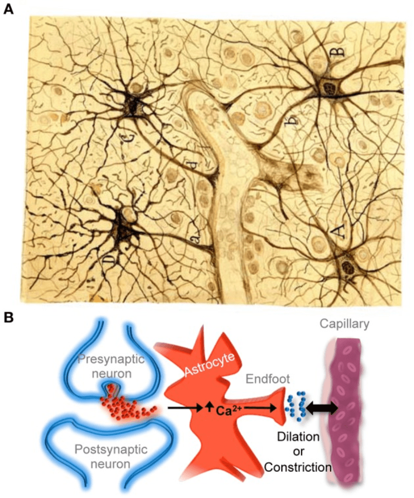medium resolution of  a cajal s drawing of fibrous astrocytes of human cerebral cortex surrounding a blood vessel the original slide was impregnated by the sublimated gold