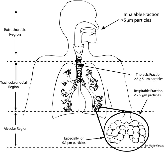 Regional deposition of particles in the human respiratory