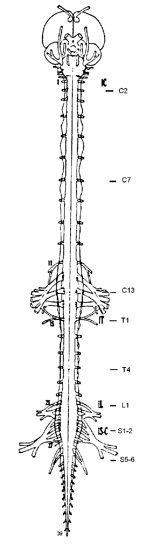 hight resolution of 11 central nervous system emerging cranial and spinal nerves and sympathetic trunk of the pigeon