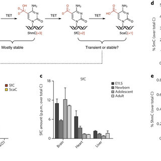 (PDF) 5-Formylcytosine can be a stable DNA modification in