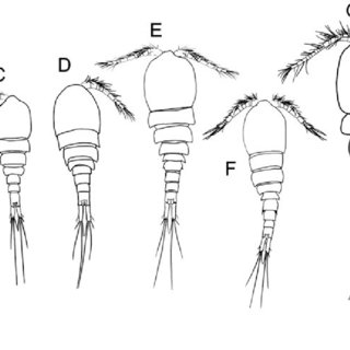 (PDF) Descriptions of copepodid and adult Acanthocyclops