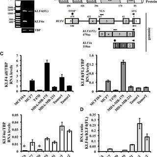 (PDF) KLF4α stimulates breast cancer cell proliferation by
